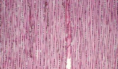 EUPHORBIACEAE Sapium pallidum