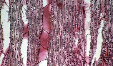 EUPHORBIACEAE Shirakiopsis elliptica