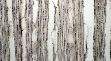 EUPHORBIACEAE Triadica cochinchinensis