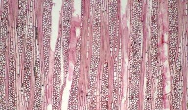 CLUSIACEAE Garcinia corymbosa