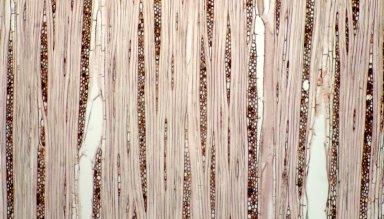 CLUSIACEAE Garcinia macrophylla