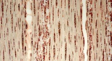 HYPERICACEAE Vismia angusta