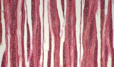 HYDRANGEACEAE Hydrangea anomala