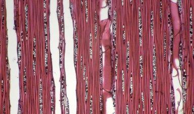 LAURACEAE Actinodaphne macrophylla