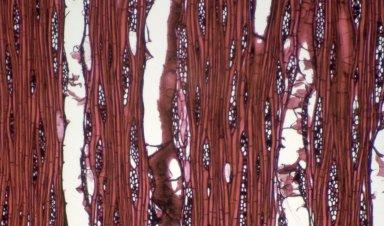 LAURACEAE Alseodaphne insignis
