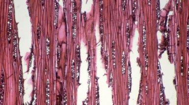 LAURACEAE Aniba gigantifolia