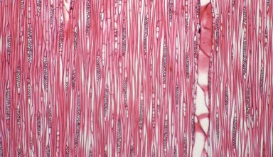 LAURACEAE Cryptocarya aromatica