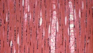 LAURACEAE Cryptocarya crassinervia