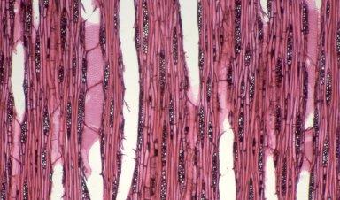 LAURACEAE Cryptocarya fusca