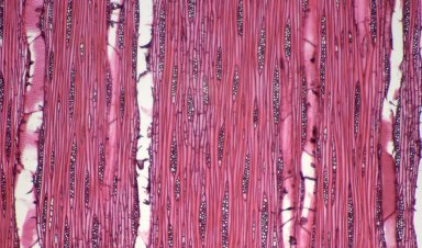 LAURACEAE Cryptocarya parinerioides