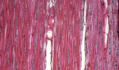 LAURACEAE Cryptocarya turbinata