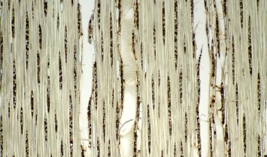 LAURACEAE Licaria multiflora