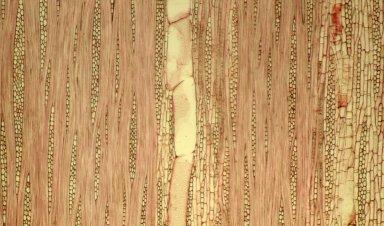 LECYTHIDACEAE Lecythis simiorum