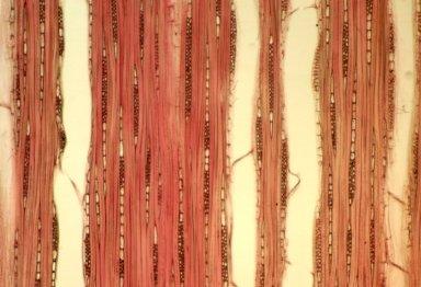 LINACEAE Hebepetalum humiriifolium