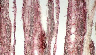 LOGANIACEAE Strychnos aculeata