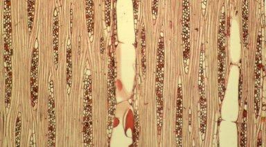 MELIACEAE Carapa guianensis