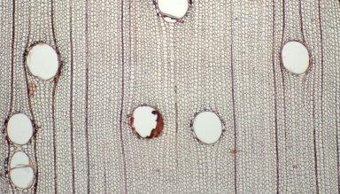 LEGUMINOSAE CAESALPINIOIDEAE Mimosoid Clade Albizia carbonaria