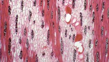 LEGUMINOSAE CAESALPINIOIDEAE Mimosoid Clade Albizia lebbeck