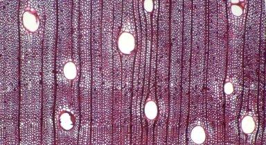 LEGUMINOSAE MIMOSOIDEAE Archidendropsis granulosa