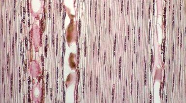 LEGUMINOSAE CAESALPINIOIDEAE Mimosoid Clade Inga melinonis