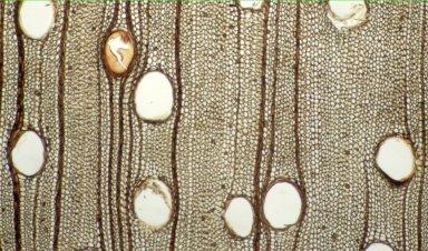 LEGUMINOSAE CAESALPINIOIDEAE Mimosoid Clade Plathymenia reticulata