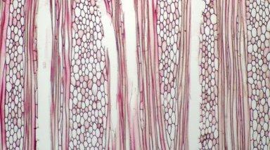 MONIMIACEAE Levieria cf. parvifolia