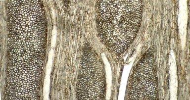 MENISPERMACEAE Anomospermum bolivianum