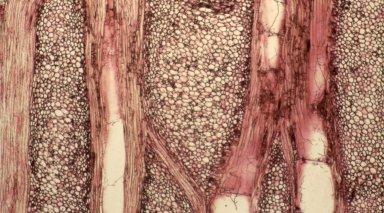 MENISPERMACEAE Anomospermum chloranthum