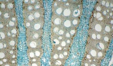 MENISPERMACEAE Chondodendron microphyllum