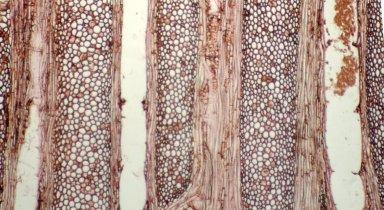 MENISPERMACEAE Telitoxicum krukovii