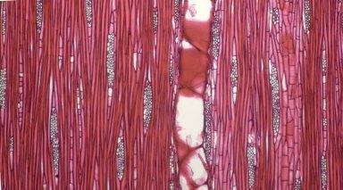 MORACEAE Artocarpus lacucha