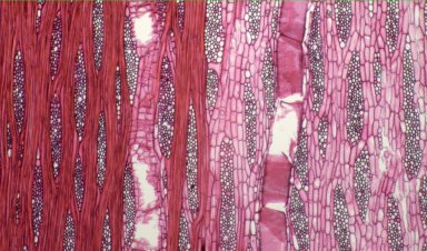 MORACEAE Ficus platyphylla