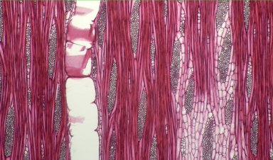 MORACEAE Ficus sycomorus