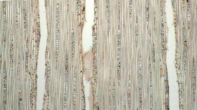 MORACEAE Helicostylis elegans