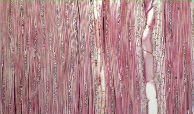 MORACEAE Helicostylis tomentosa