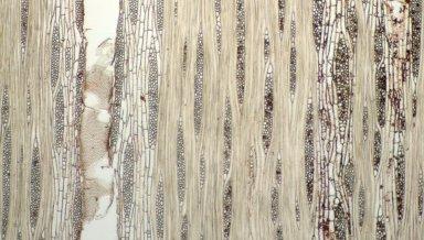 MORACEAE Maquira calophylla
