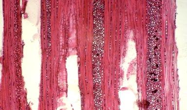 PASSIFLORACEAE Passiflora glandulosa