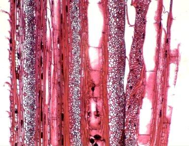 PASSIFLORACEAE Passiflora vitifolia