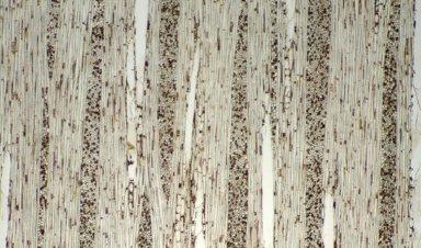 POLYGONACEAE Symmeria paniculata