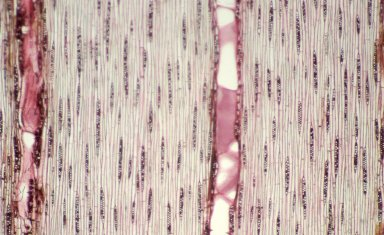 POLYGONACEAE Triplaris melaenodendron