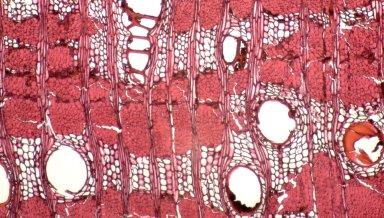 LEGUMINOSAE PAPILIONOIDEAE Andira inermis