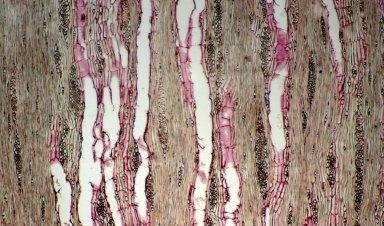 LEGUMINOSAE PAPILIONOIDEAE Cytisus baeticus