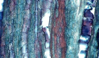 LEGUMINOSAE PAPILIONOIDEAE Dalbergia cf. hostilis