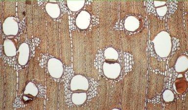 LEGUMINOSAE PAPILIONOIDEAE Diplotropis purpurea