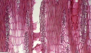 LEGUMINOSAE PAPILIONOIDEAE Erythrina arborescens