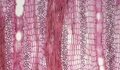 LEGUMINOSAE PAPILIONOIDEAE Erythrina berteroana