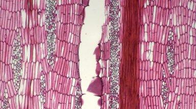 LEGUMINOSAE PAPILIONOIDEAE Erythrina edulis