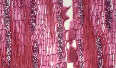 LEGUMINOSAE PAPILIONOIDEAE Erythrina poeppigiana