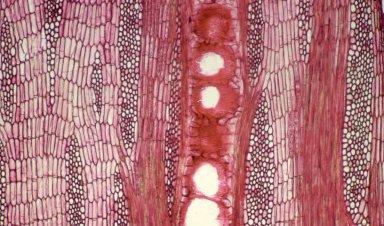 LEGUMINOSAE PAPILIONOIDEAE Erythrina sigmoidea