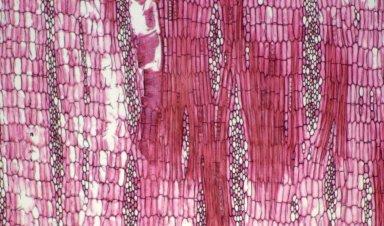 LEGUMINOSAE PAPILIONOIDEAE Erythrina standleyana